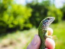 Pequeño lagarto hermoso Foto de archivo