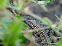 Pequeño lagarto que se arrastra entre la tierra fotos de archivo libres de regalías