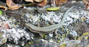Pequeño lagarto que se sienta en la roca en naturaleza almacen de metraje de vídeo