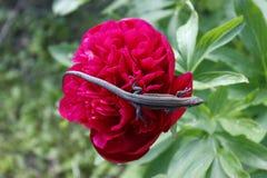 Pequeño lagarto valiente en la flor Peonía roja Día asoleado Fondo verde imagenes de archivo