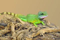 Pequeño lagarto verde en un registro Imagen de archivo