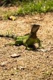 Pequeño lagarto verde que corre en tierra foto de archivo