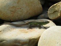Pequeño lagarto verde que se arrastra en rocas y que toma el sol en el sol Fotos de archivo libres de regalías