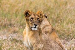 Pequeño león en la sabana Masai Mara Fotografía de archivo