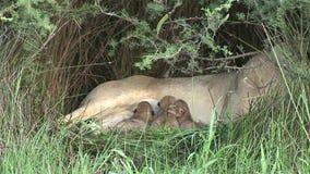 Pequeño león salvaje que come la sabana Kenia de África del mamífero de la leche de madres almacen de video