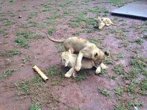 Pequeño Lion Cubs Fotografía de archivo libre de regalías