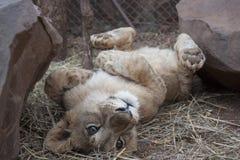 Pequeño Lion Cubs Imagenes de archivo