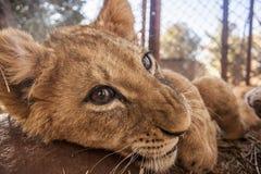 Pequeño Lion Cubs Fotos de archivo