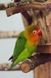 Pequeño loro multicolor Fotos de archivo libres de regalías