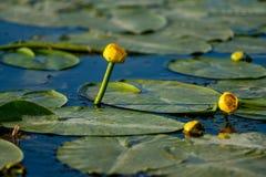 Pequeño Lotus amarillo que flota en el agua azul en el delta de Danubio imágenes de archivo libres de regalías