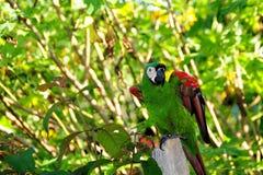 Pequeño Macaw verde Foto de archivo libre de regalías