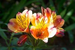 Pequeño manojo de lillies Imagen de archivo libre de regalías