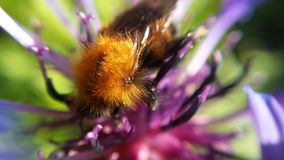 Pequeño manosee la abeja Fotografía de archivo