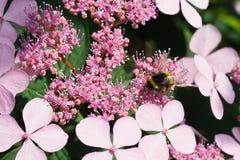 Pequeño manosee la abeja en las flores del hortensia Imagenes de archivo