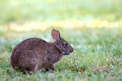 Peque?o Marsh Rabbit lindo masca en hierba imagen de archivo libre de regalías