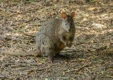 Pequeño marsupial de Pademelon Fotografía de archivo