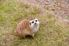 Pequeño Meerkat que se sienta en la hierba que mira para arriba el cielo Imagen de archivo libre de regalías