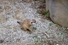 Pequeño Meerkat que se sienta y que mira en la pila de rocas Foto de archivo