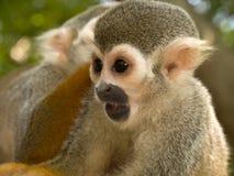 Pequeño mono Imagen de archivo libre de regalías