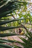 Pequeño mono con el coco amarillo que se sienta en bosque verde de la palma imágenes de archivo libres de regalías