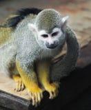 Pequeño mono de ardilla Foto de archivo libre de regalías