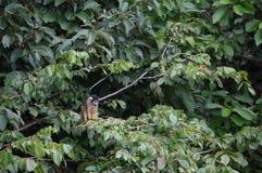 Pequeño mono en la selva peruana deliciosa Fotos de archivo