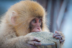 Mono japonés lindo de la nieve Fotografía de archivo