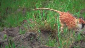 Pequeño mono marrón que camina en la cámara lenta estupenda almacen de metraje de vídeo