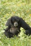 Pequeño mono negro fotos de archivo