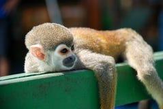 Pequeño mono que descansa sobre la madera Fotos de archivo