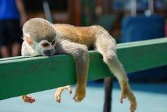 Pequeño mono que descansa sobre la madera Fotografía de archivo