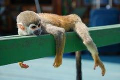 Pequeño mono que descansa sobre la madera Foto de archivo libre de regalías