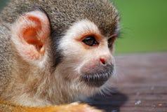 Pequeño mono que descansa sobre la madera Imagen de archivo