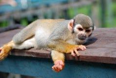 Pequeño mono que miente en la madera Imagenes de archivo
