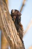 Pequeño mono que se reclina sobre el árbol Fotos de archivo libres de regalías