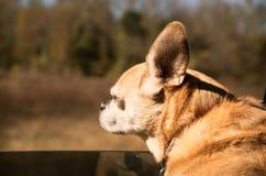 Pequeño montar a caballo marrón del perro en coche Foto de archivo libre de regalías