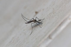 Pequeño mosquito Foto de archivo libre de regalías