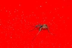 Pequeño mosquito Imagen de archivo