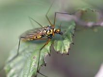 Pequeño mosquito colorido Foto de archivo libre de regalías