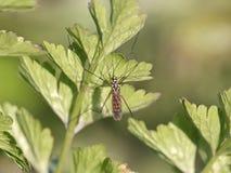 Pequeño mosquito colorido Fotografía de archivo libre de regalías