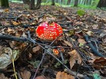 Pequeño muscria rojo de la amanita de la seta en el bosque Imagen de archivo