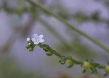 Pequeño Myosotis azulado de los wildflowers en la luz de la tarde, nomeolvides común del nombre Imágenes de archivo libres de regalías