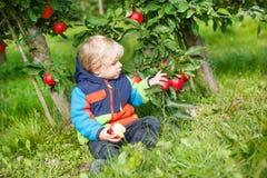 Pequeño niño pequeño de dos años que escogen manzanas rojas en una huerta Foto de archivo