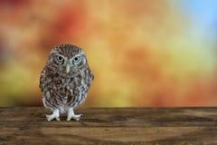 Pequeño noctua de Owl Athene en fondo colorido Con el espacio de la copia Foto de archivo libre de regalías