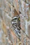 Pequeño noctua de Owl Athene que mira hacia fuera de un agujero en una pared de ladrillo imagenes de archivo