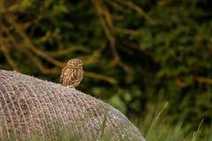 Pequeño noctua de Owl Athene que se sienta en un pajar imagenes de archivo