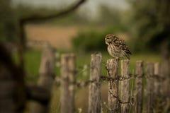 Pequeño noctua de Owl Athene que se sienta en una cerca fotos de archivo