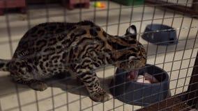 Pequeño ocelote en el zoo-granja almacen de metraje de vídeo