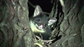 Pequeño oposum en un árbol en la noche en Margaret River, Australia occidental almacen de video