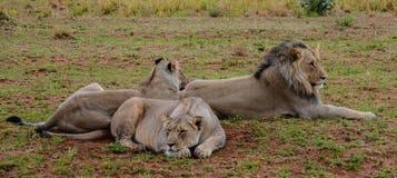 Pequeño orgullo de leones Fotos de archivo libres de regalías